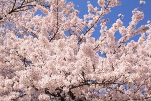 桜満開写真